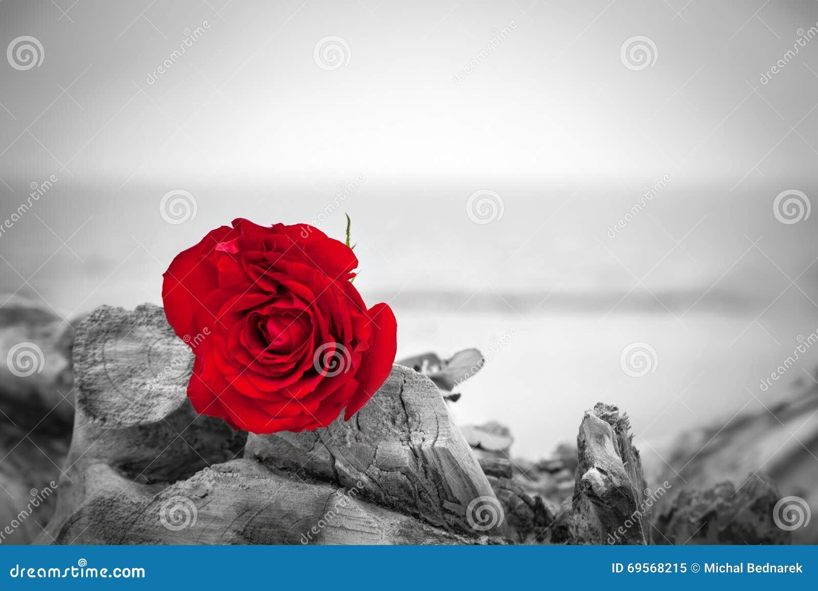 Rosa Del Rojo En La Playa Color Contra Blanco Y Negro Amor Romance