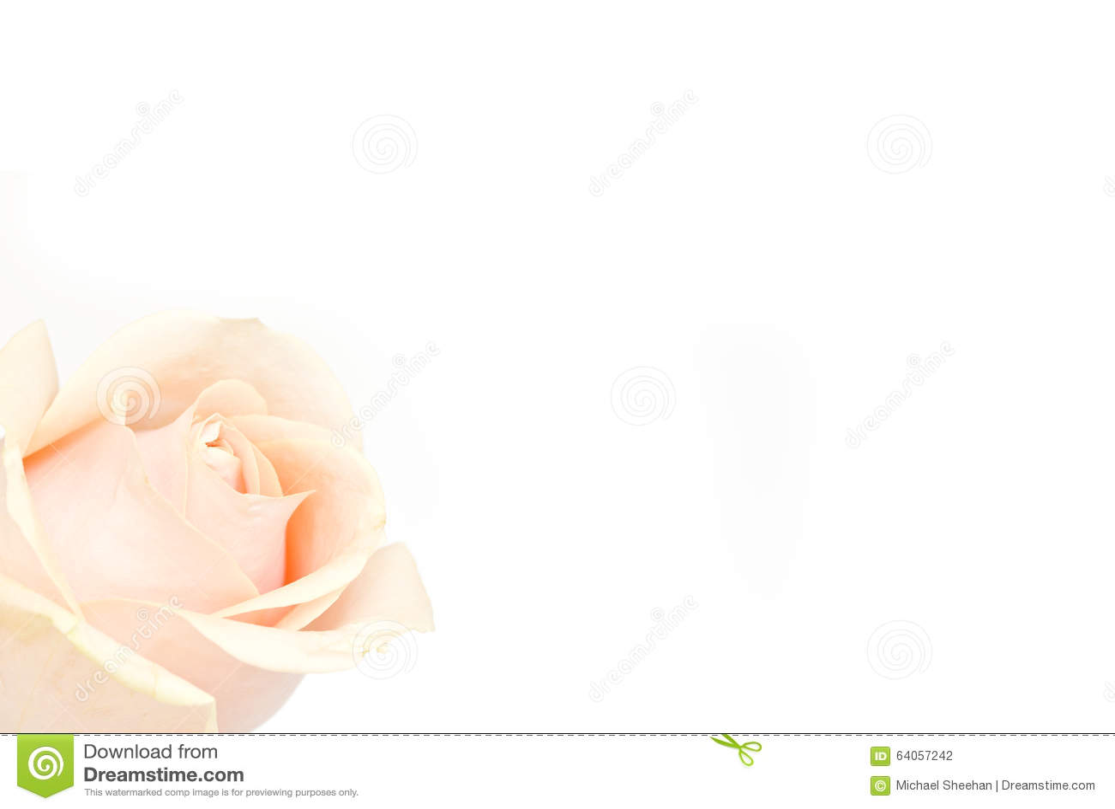 Rosa del rosa en blanco