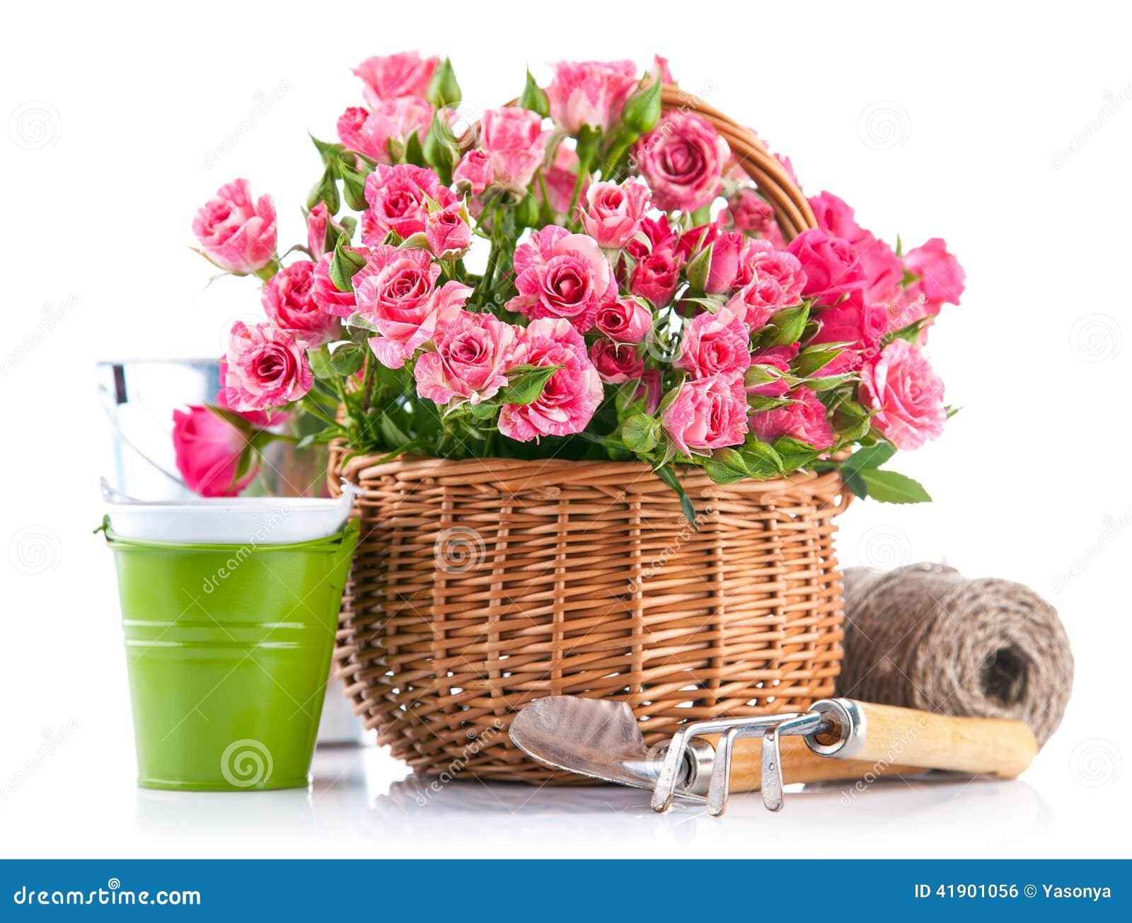 Rosa del rosa en cesta de mimbre con el utensilio de jardinería