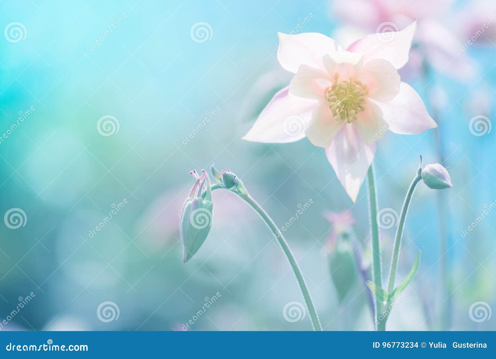 Rosa delicado da flor de Aquilegia contra um fundo azul Foco seletivo macio Imagem artística das flores fora