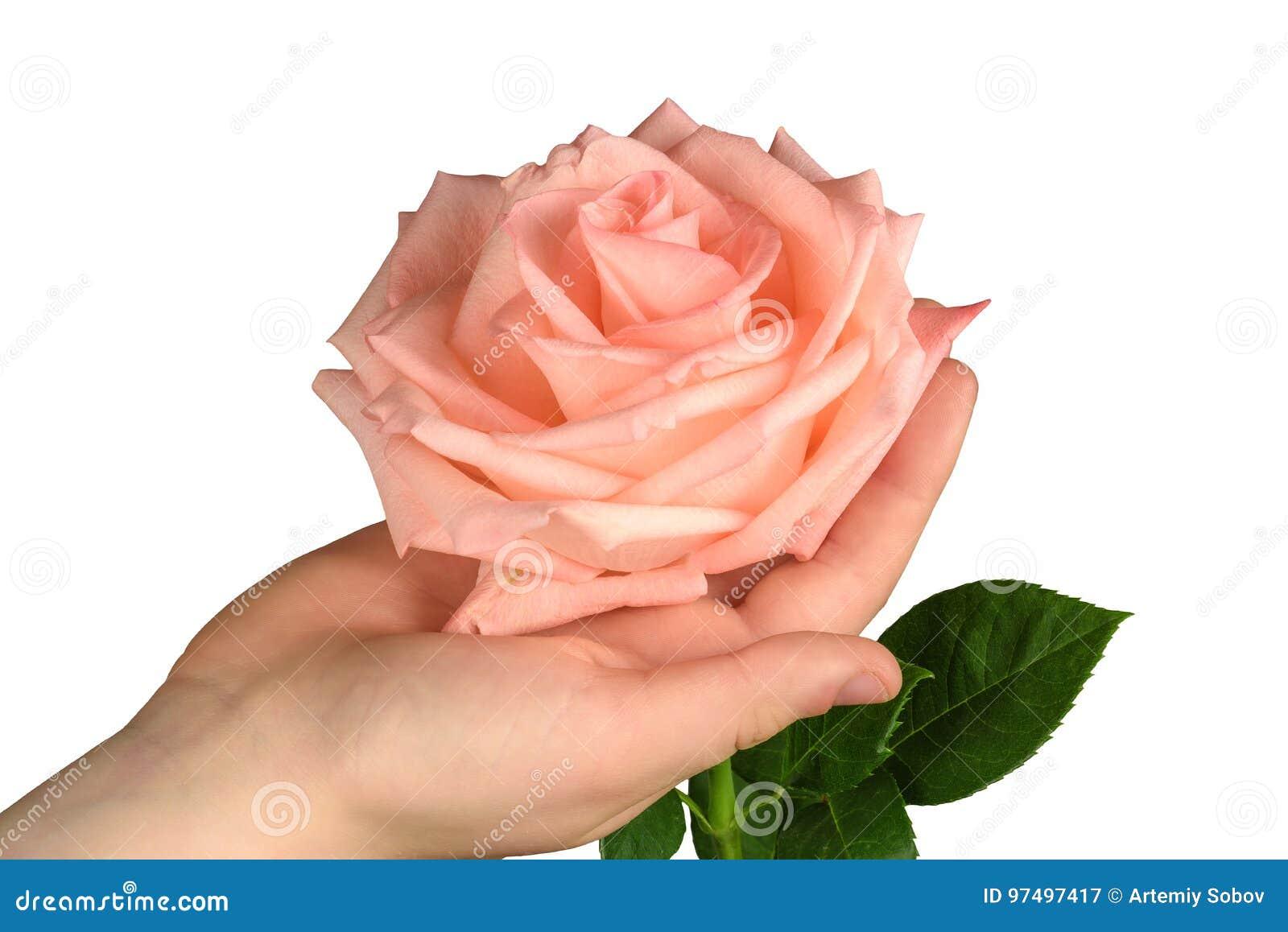 Rosa di rosa a disposizione isolata