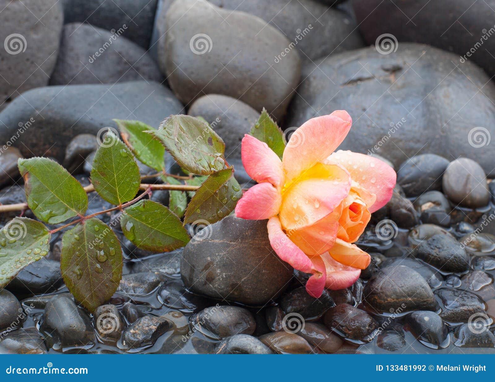 Rosa di rosa e di giallo che mette su letto dei ciottoli e dell acqua bassa con le gocce di acqua che coprono tutto
