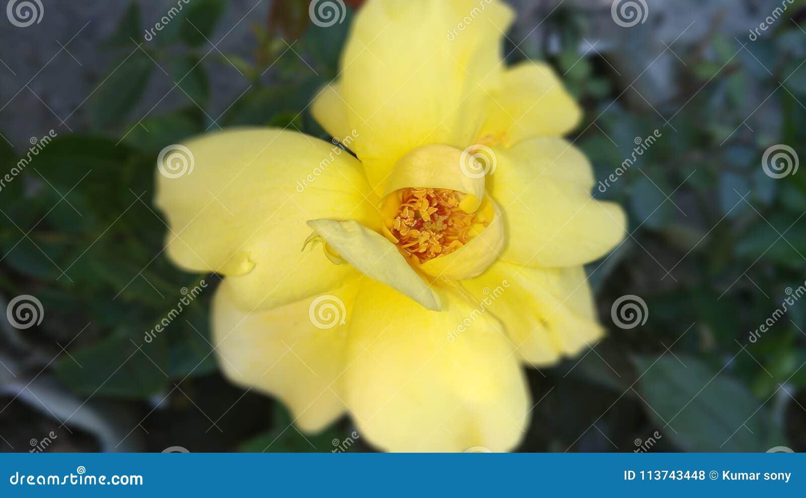 Fiori Gialli Rari.Rosa Di Giallo I Suoi Fiori Rari Nel Giallo Naturale Del