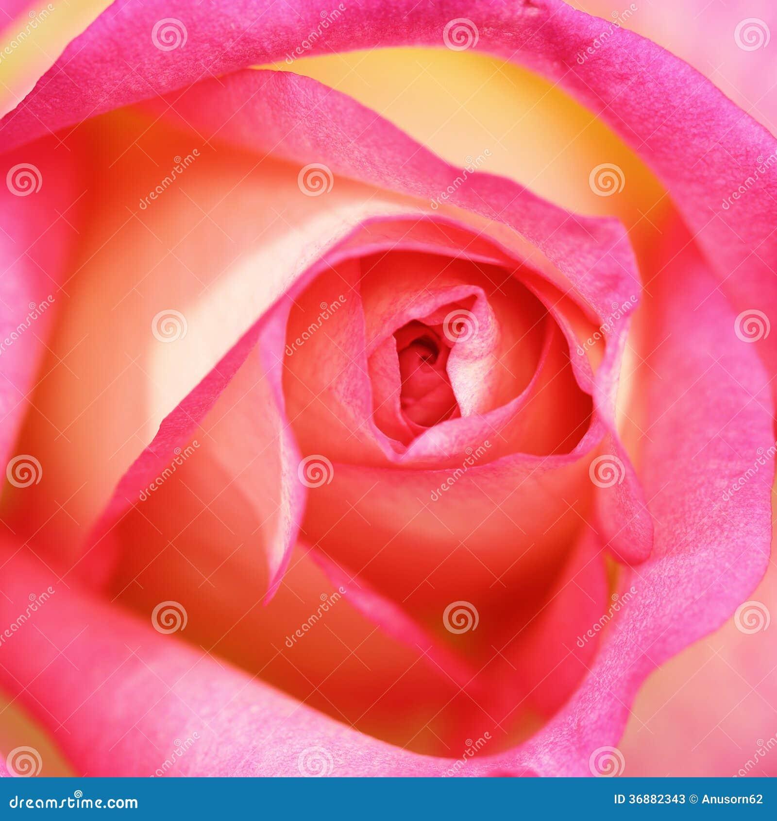 Download Rosa di rosa immagine stock. Immagine di morbido, nave - 36882343
