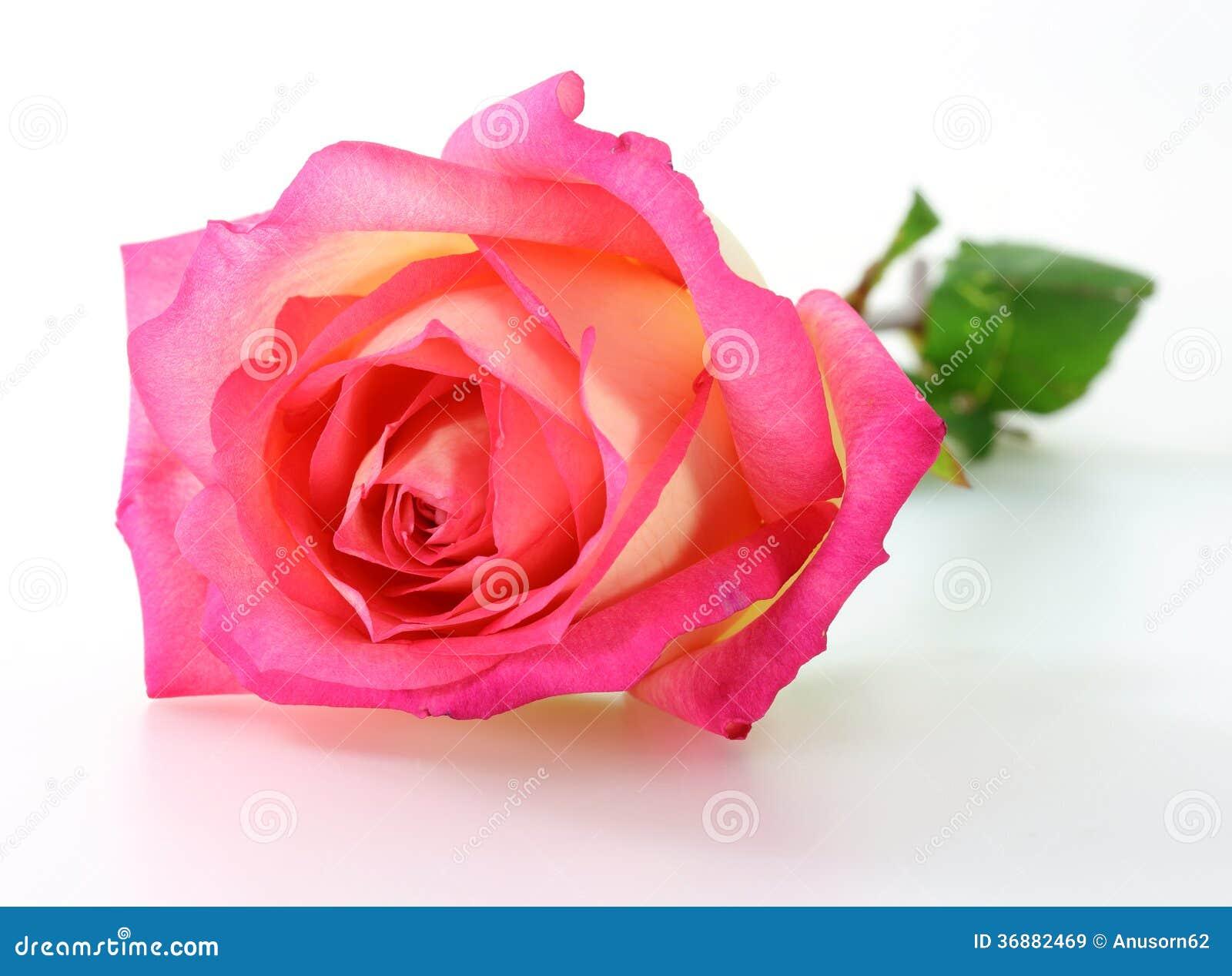Download Rosa di rosa immagine stock. Immagine di anniversario - 36882469