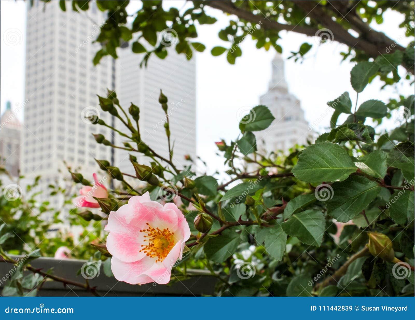 Rosa di rosa selvaggio con orizzonte vago di Tulsa Oklahoma dietro