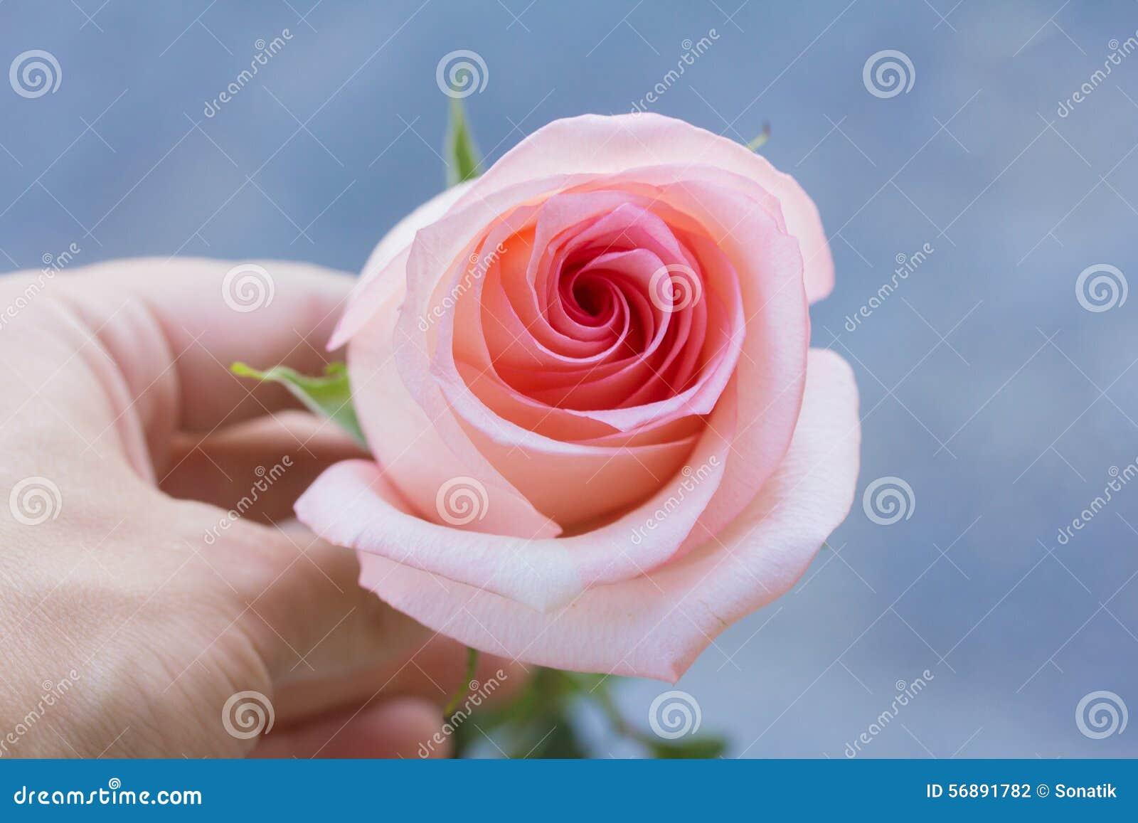 Rosa a disposizione