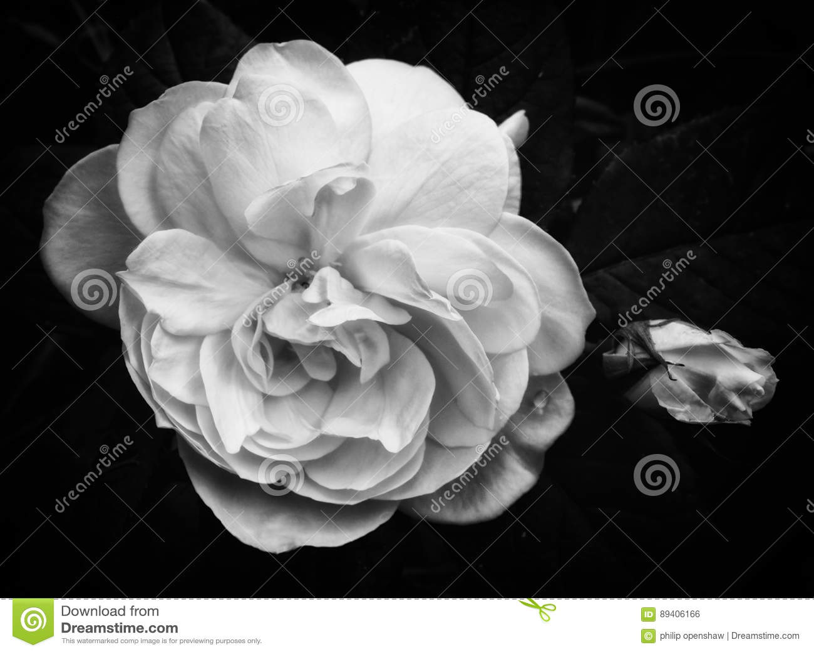 Rosa do branco no preto