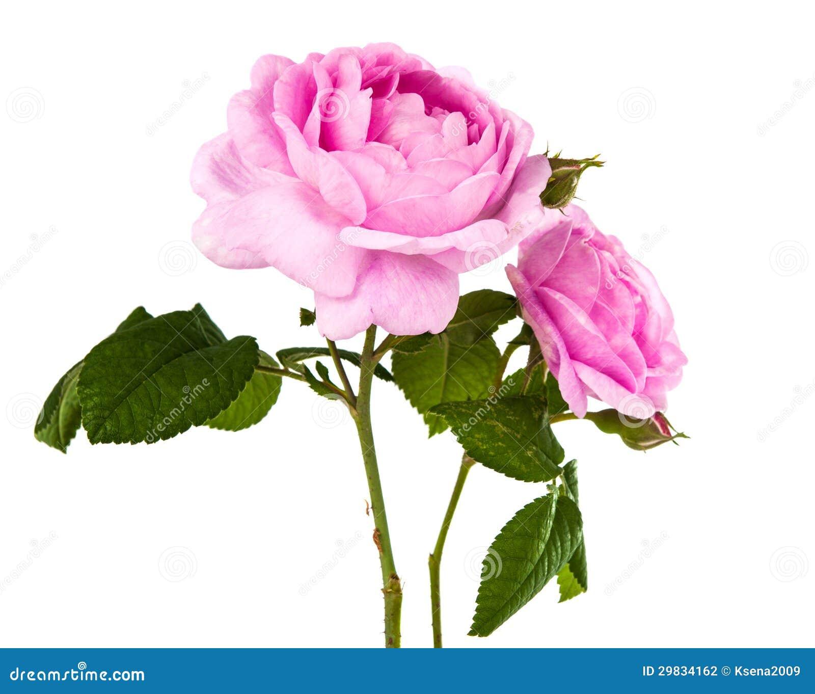 Rosa do rosa isolada