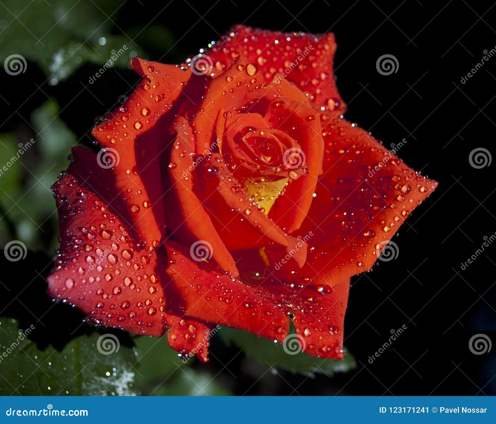 Rosa do vermelho na noite