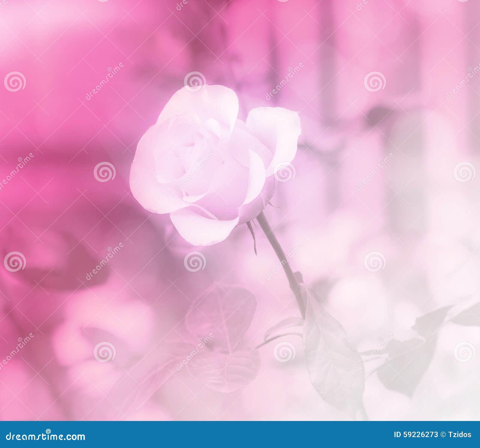 Download Rosa Dulce Del Color En Fondo Suave Del Estilo Imagen de archivo - Imagen de elegante, frescura: 59226273