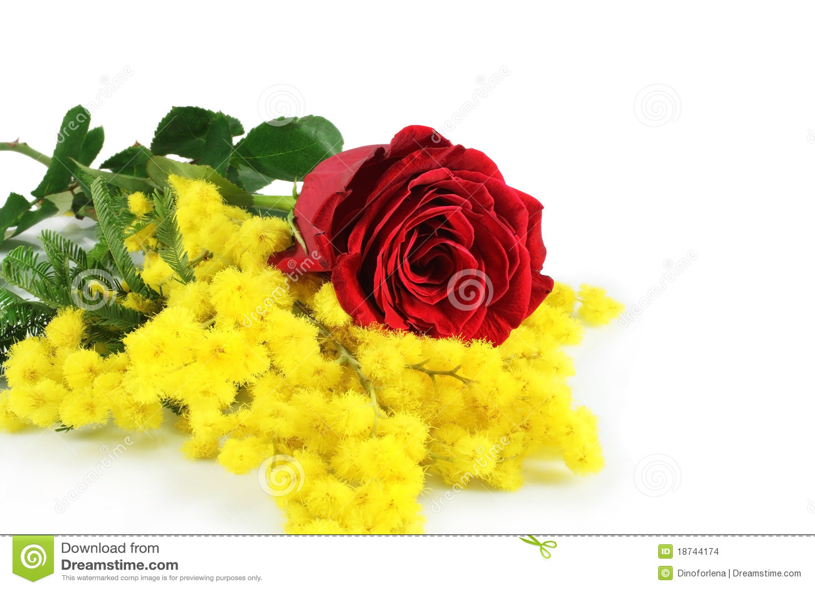 Primo piano del mimosa e della Rosa su una priorità bassa bianca.