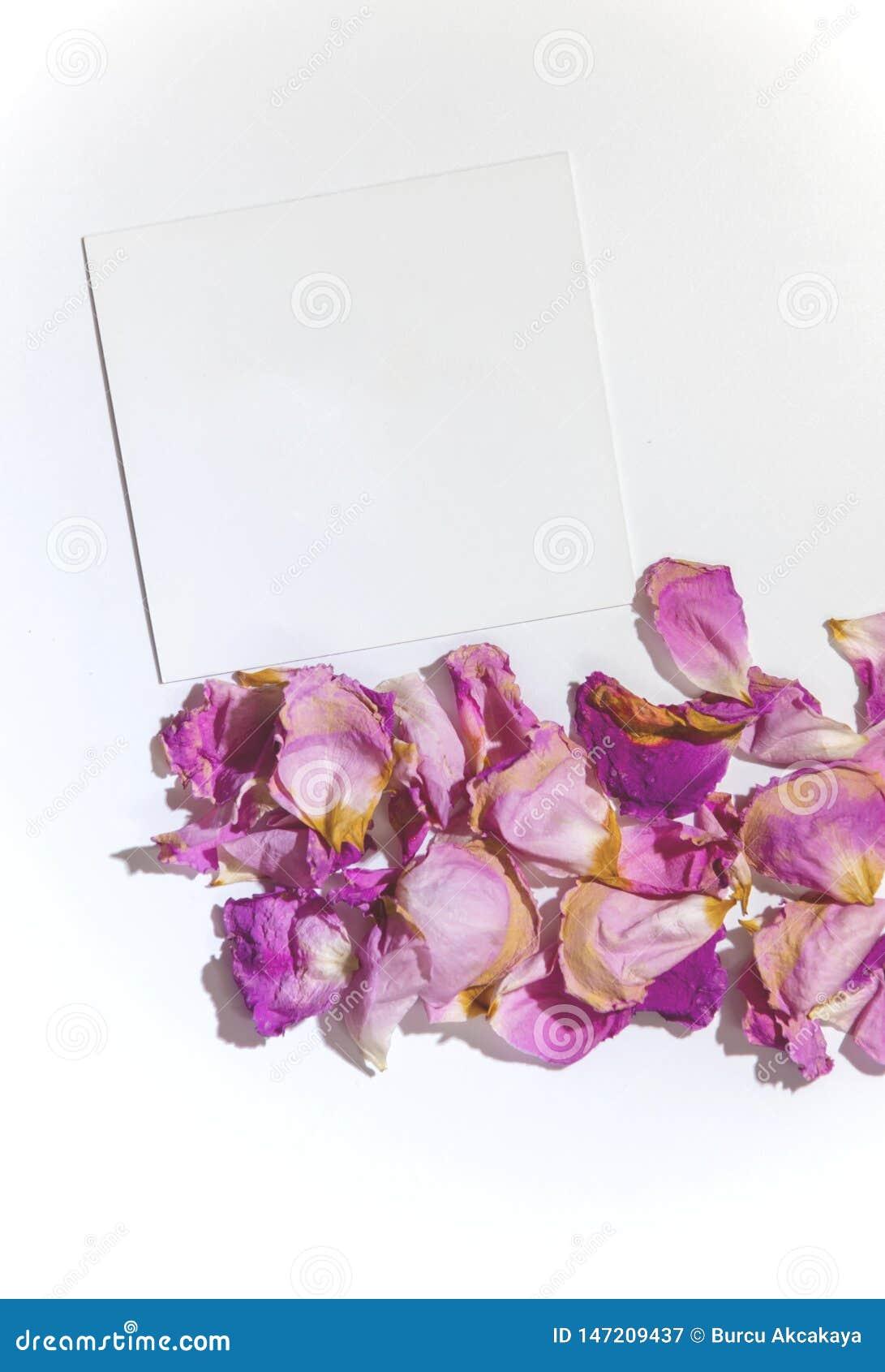 Rosa e pétalas cor-de-rosa roxas em um fundo branco com um cartão vazio para um texto, isolado