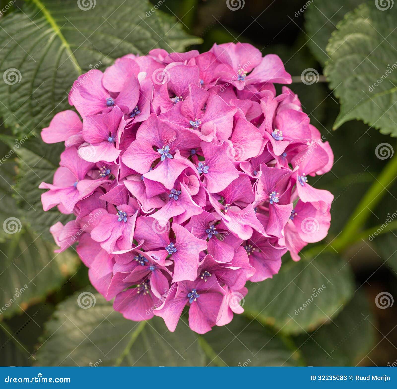Rosa e pianta di fioritura blu dell 39 ortensia fotografie for Pianta di more