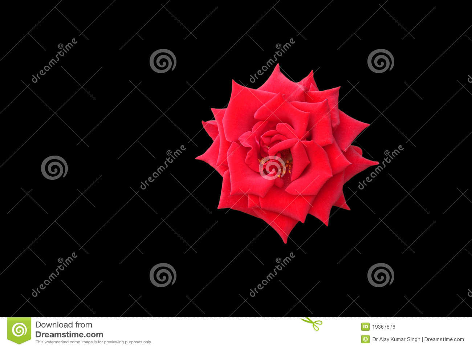 Rosa esplêndida do vermelho isolada no preto
