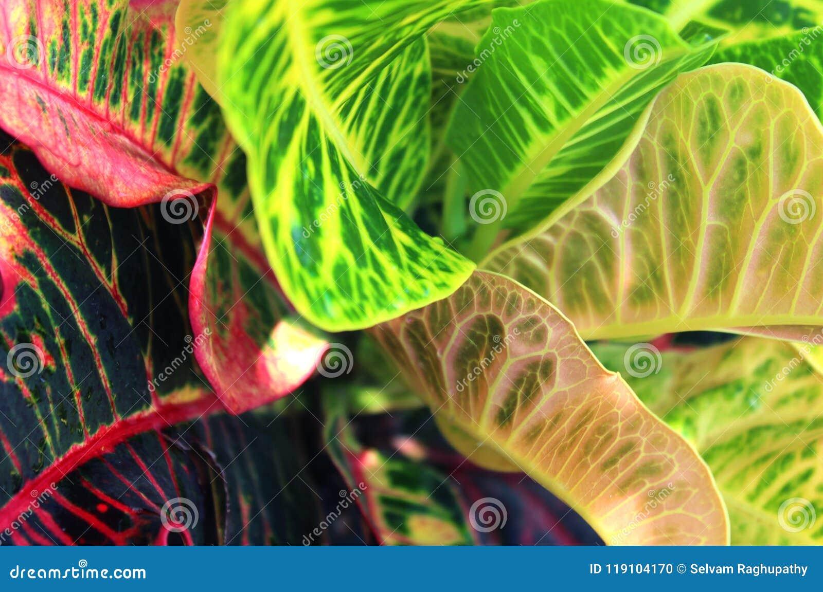 Rosa färg- och gräsplanDieffenbachiasidor eller dumma Cane Leaves Background