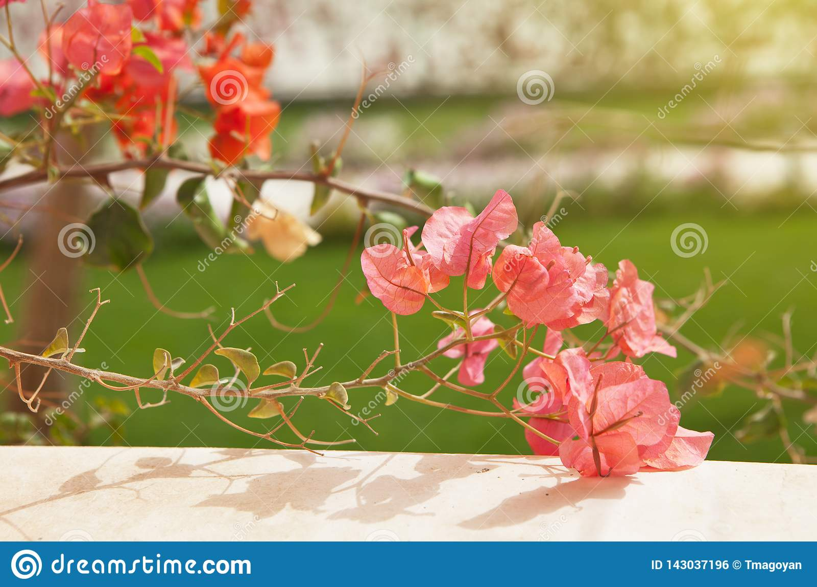 Rosa färg- och korallbougainvilleablommor på oskarp bakgrund för grönt gräs Lopp- och semesterbegrepp