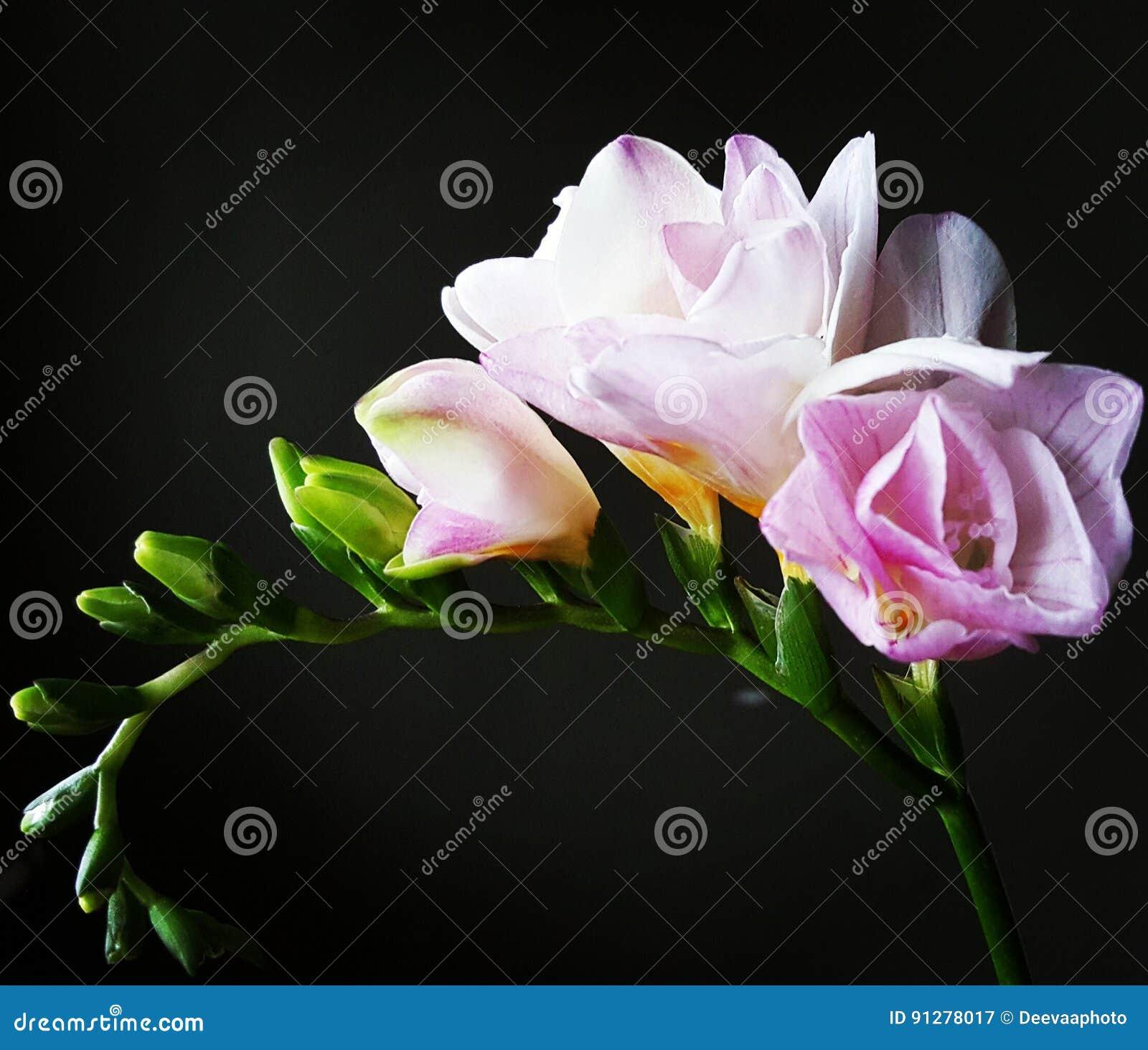 Rosa färgblomma