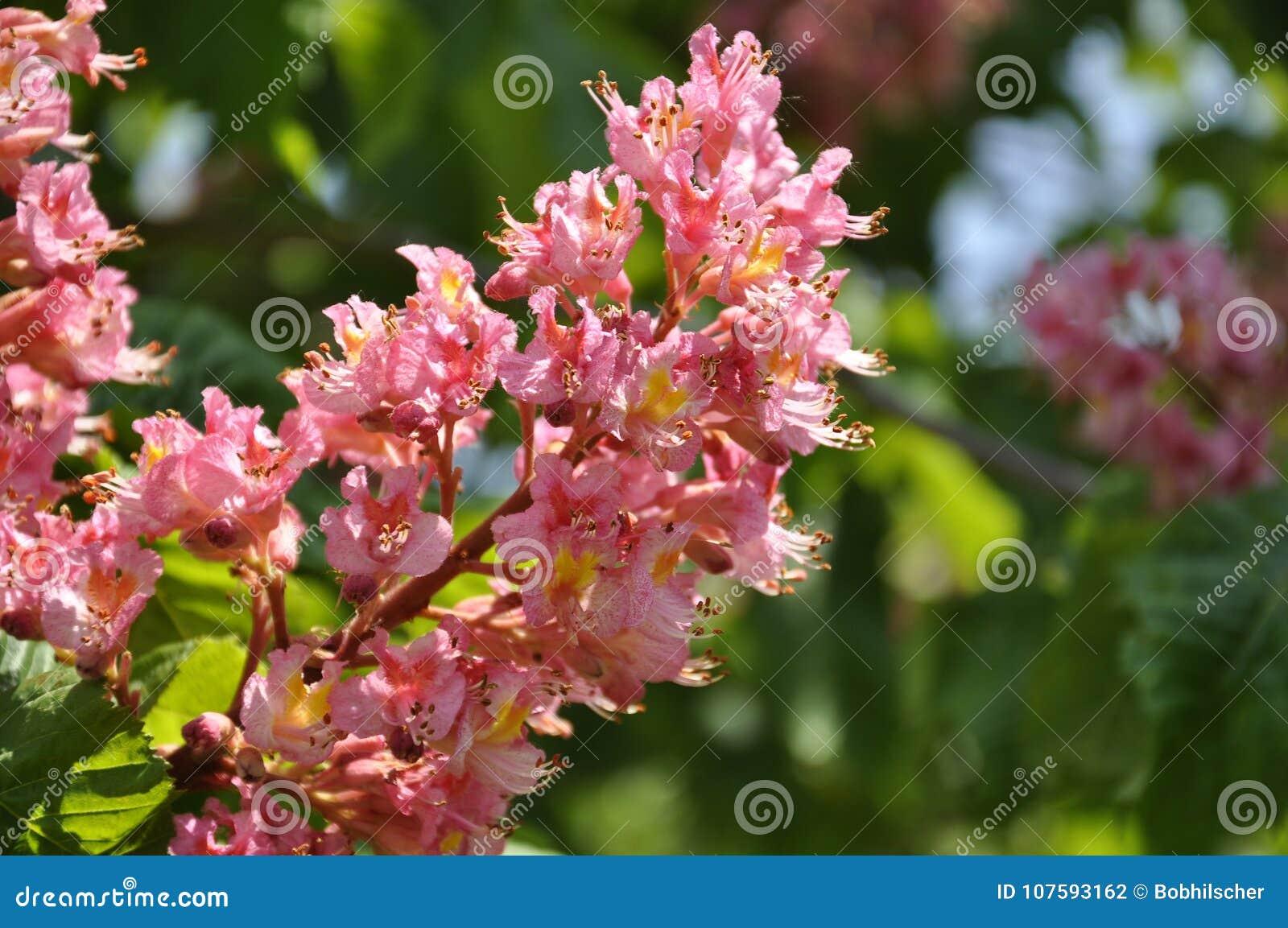 Rosa färgen blommar på rött häst-kastanj träd