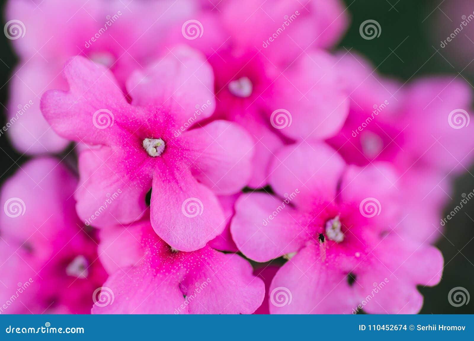 Rosa färgen blommar upp bakgrundsslut