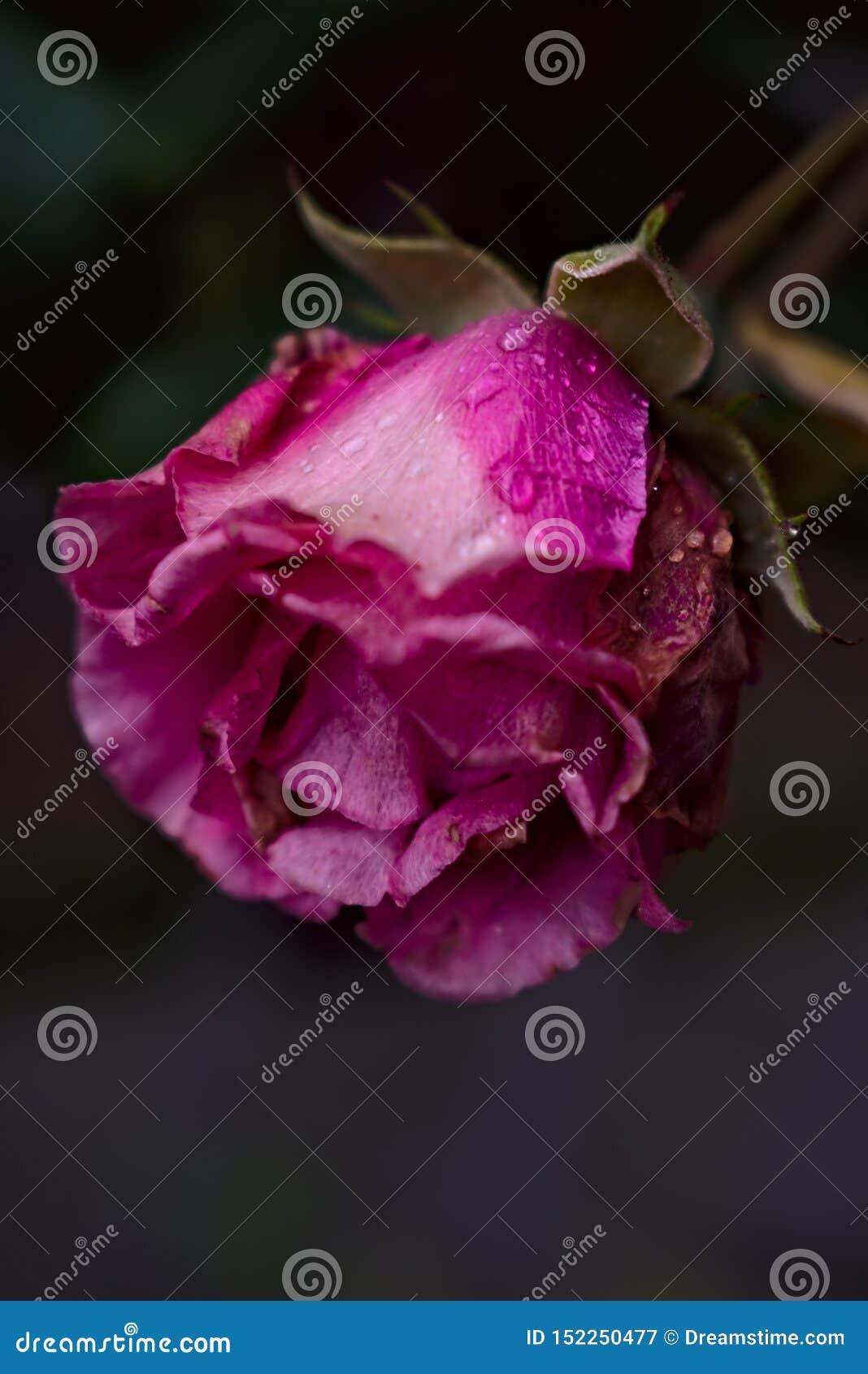 Rosa färger steg i trädgård med regnsmå droppar