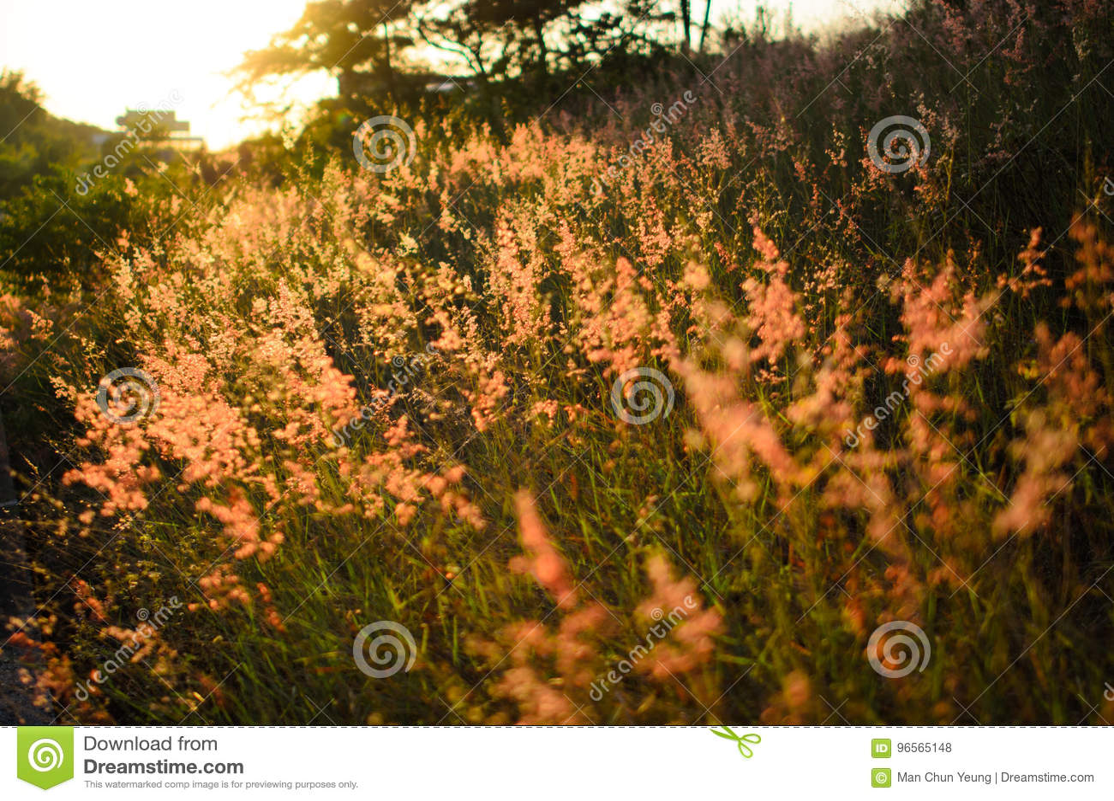 Rosa färgogräs i solnedgång