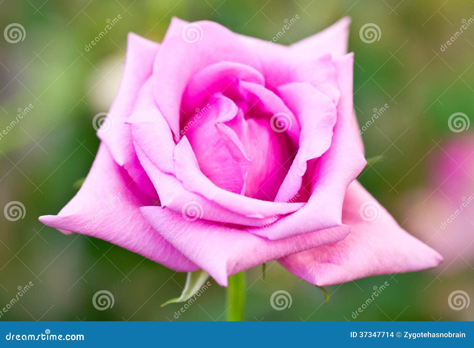 Rosa färgros.