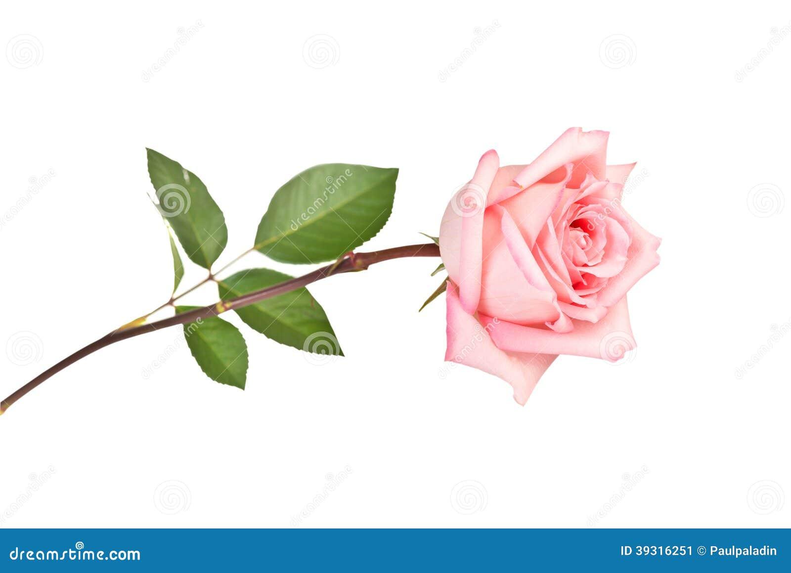 Rosa färgros