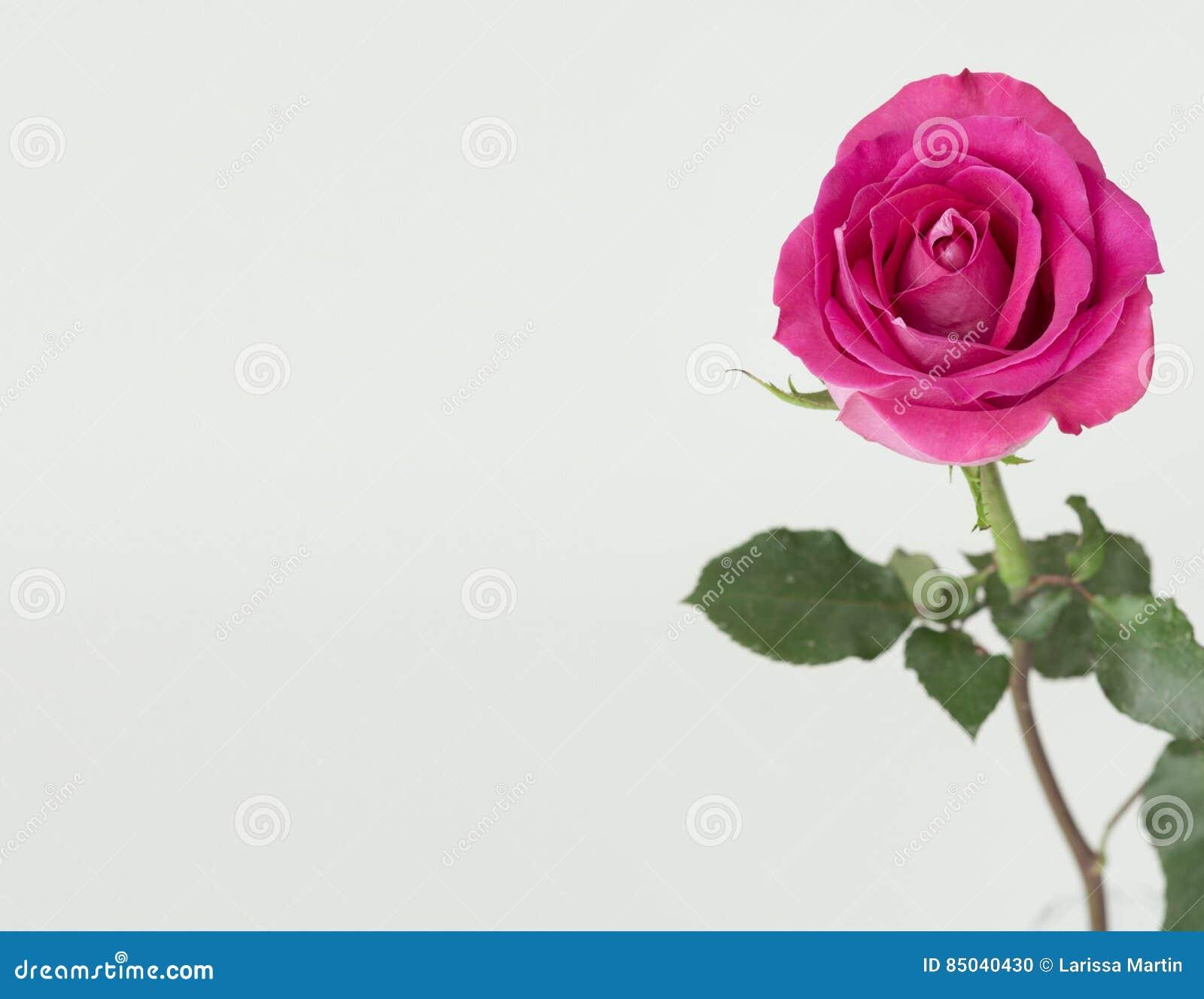 Rosa färgros med den gröna stammen