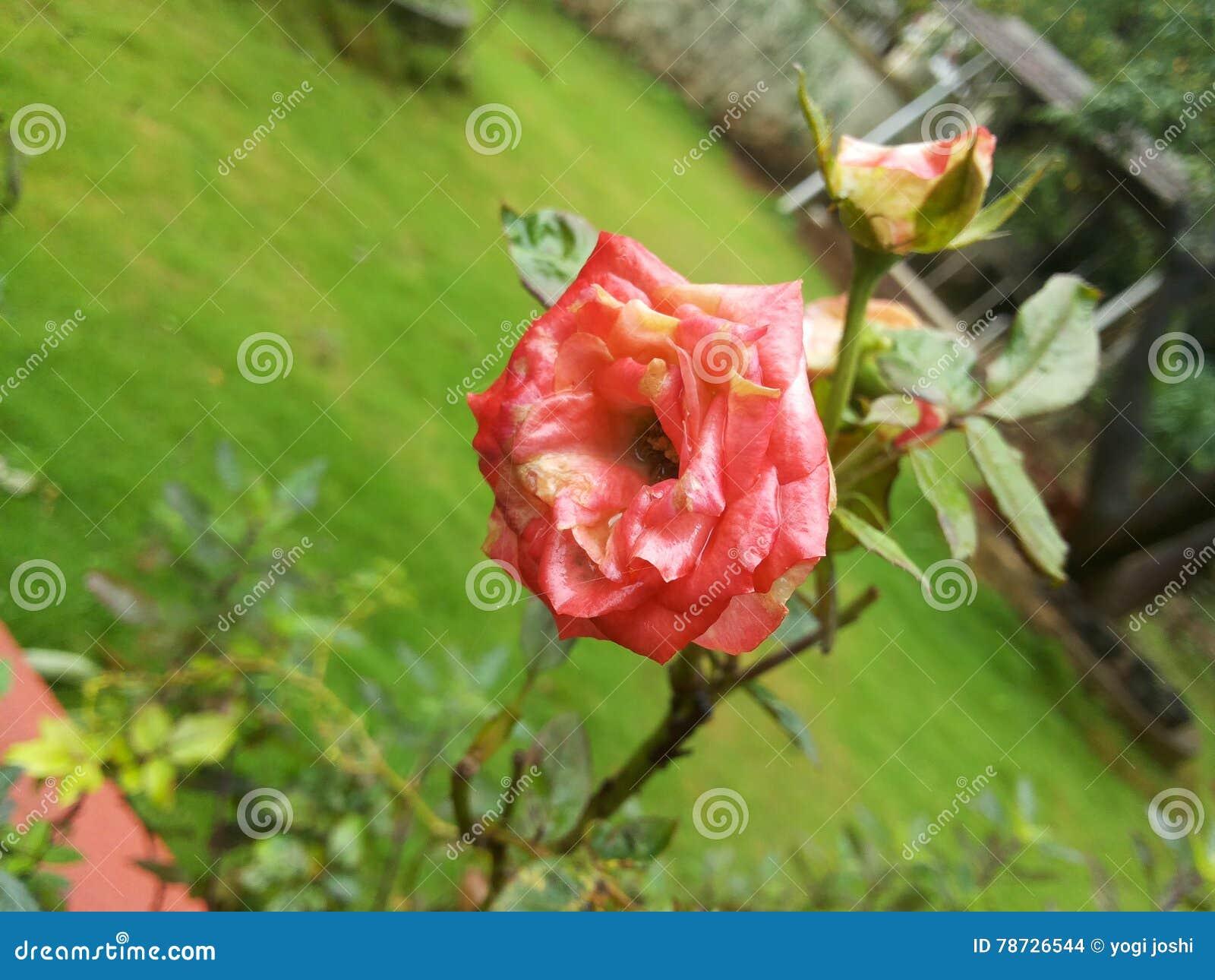 Rosa färgrosepos