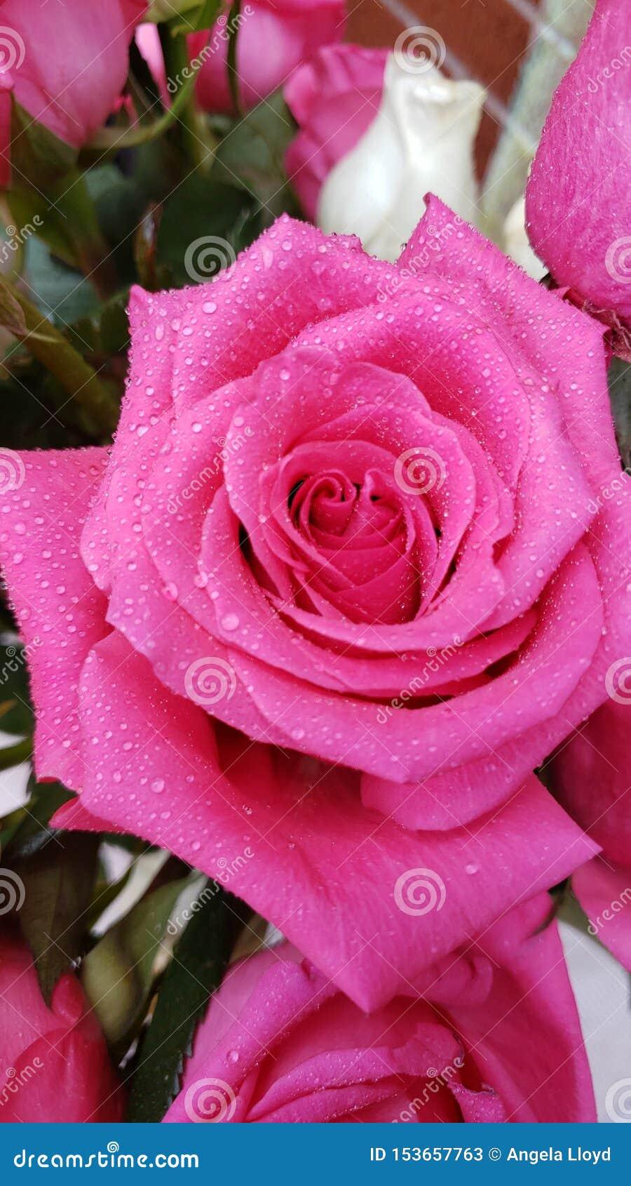 Rosa f?rg- och vitro