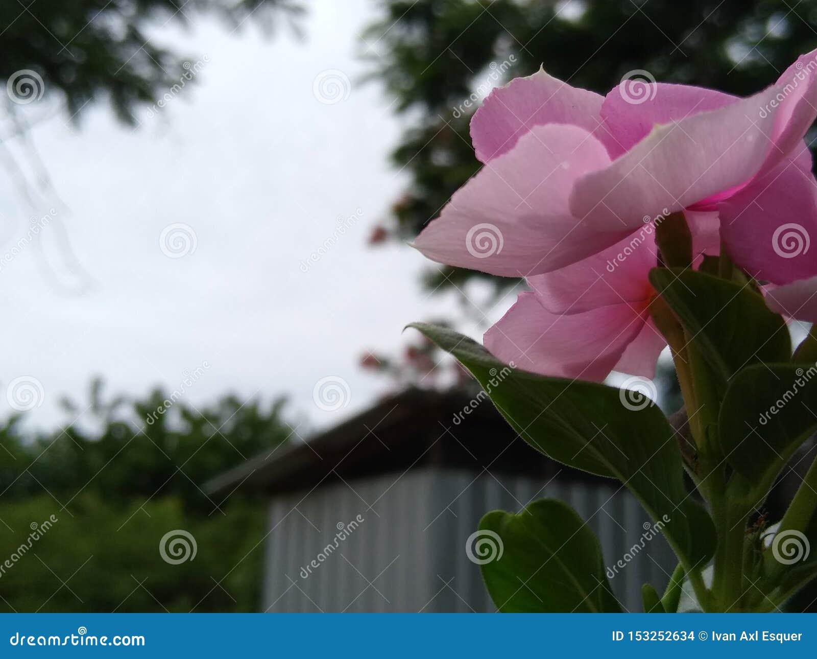 Rosa f?rgblomma