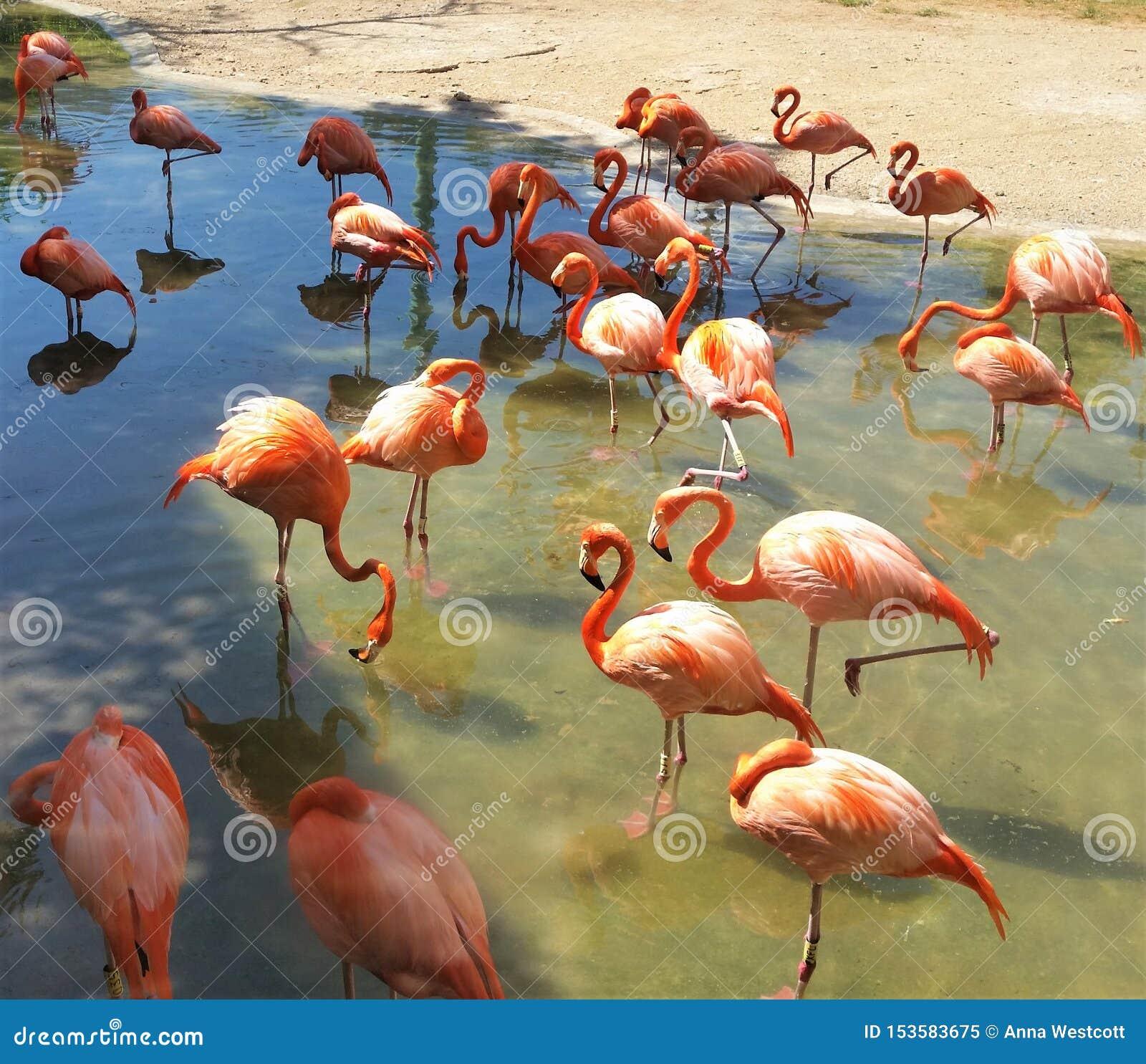 Rosa flamingo i Mexico