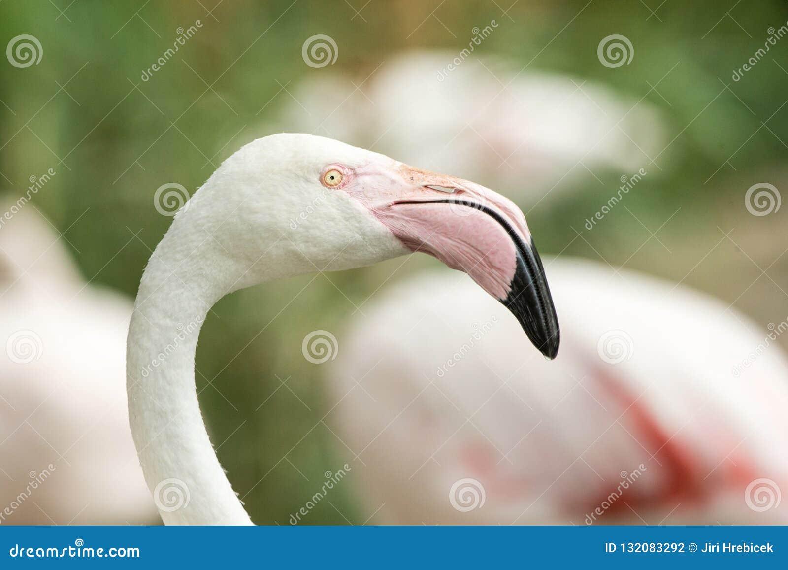 Rosa flamingo på zoo, solo flamingoståendephoenicopterus, härlig vit rosaaktig fågel nära dammet