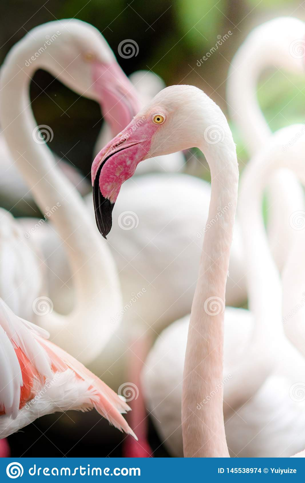Rosa Flamingo-slut upp