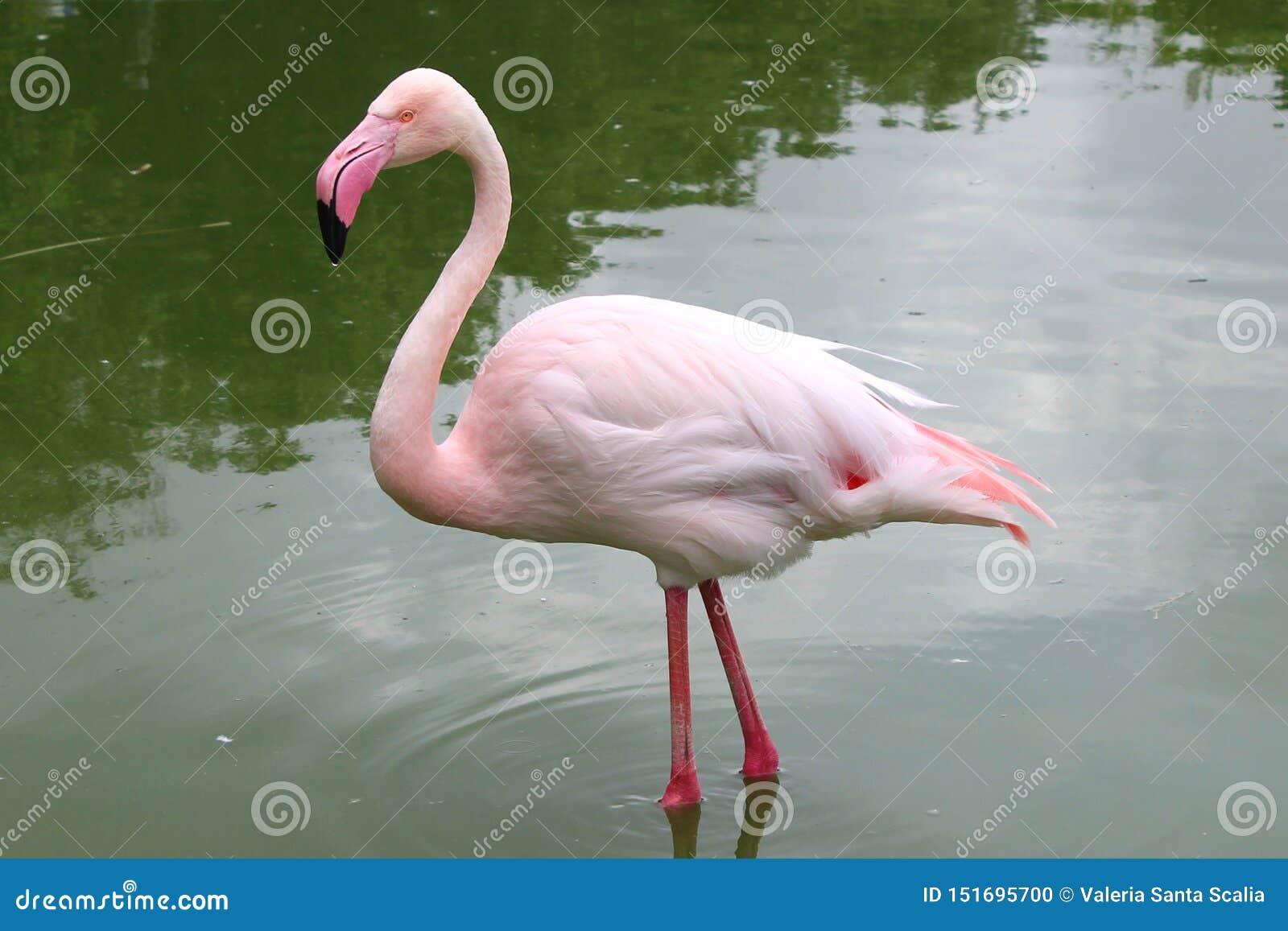 Rosa flamingo som står upp i ett damm