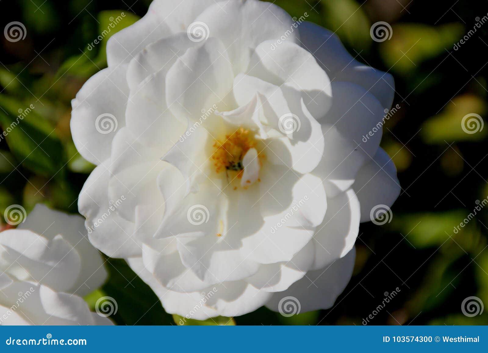 Rosa floribunda `Iceberg`