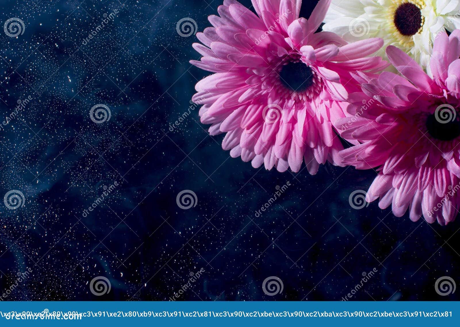 Rosa Gerbera auf einem schwarzen Hintergrund mit Wassertropfen