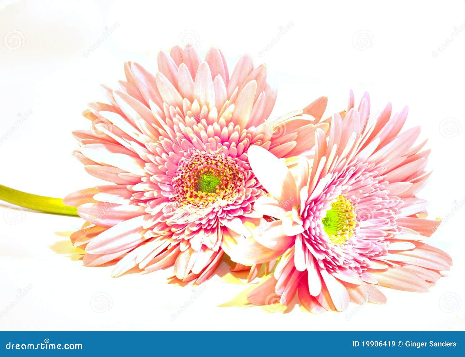 Rosa gewaschene Gerber Gänseblümchen