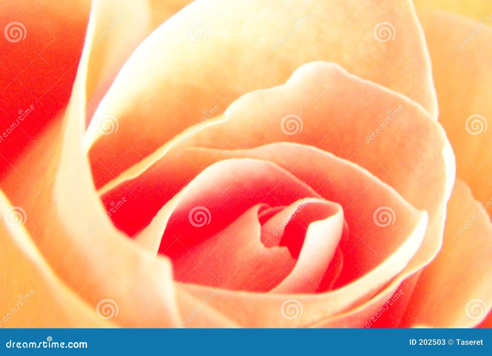 Rosa gialla molle