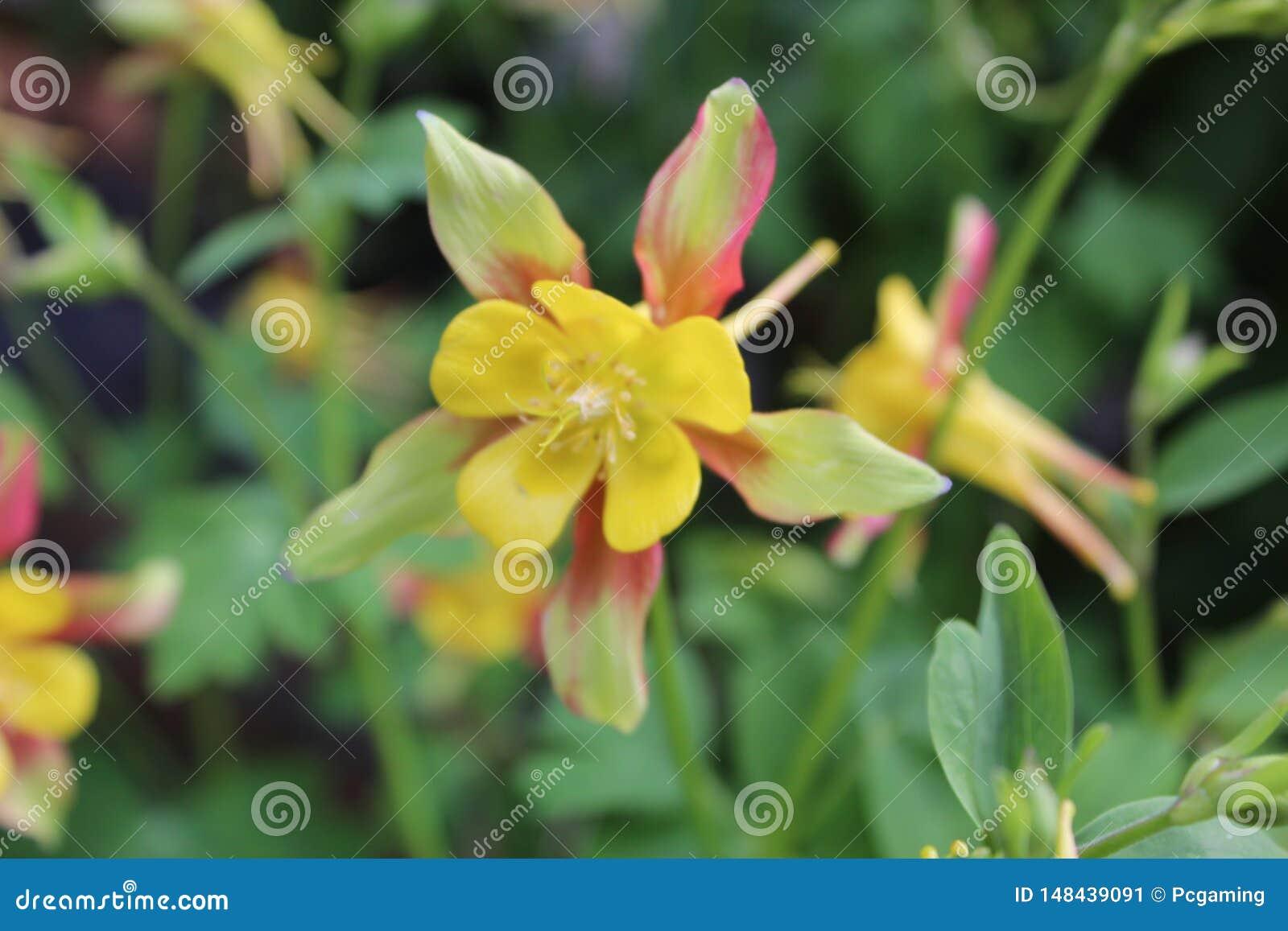 Rosa giallo e verde del fiore coperti di foglie