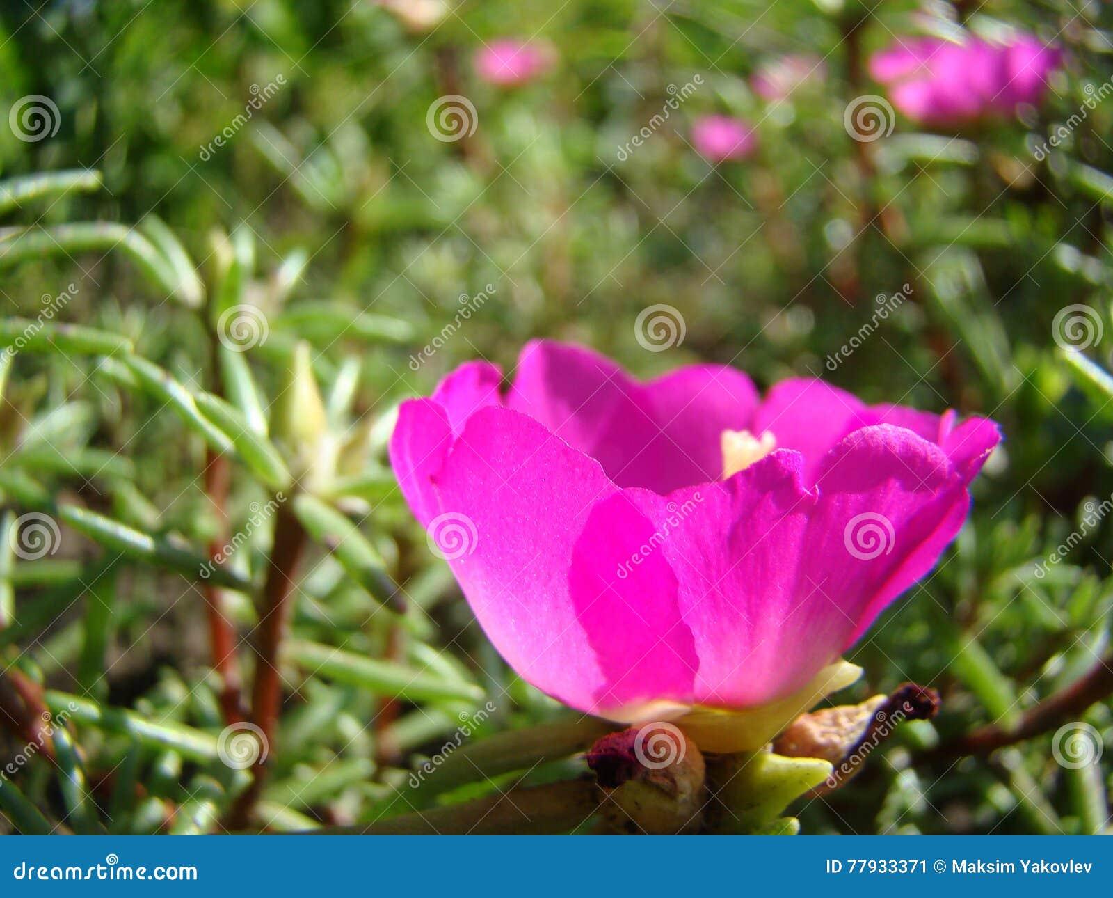 Rosa grandiflora di portulaca immagine stock immagine di for Portulaca commestibile