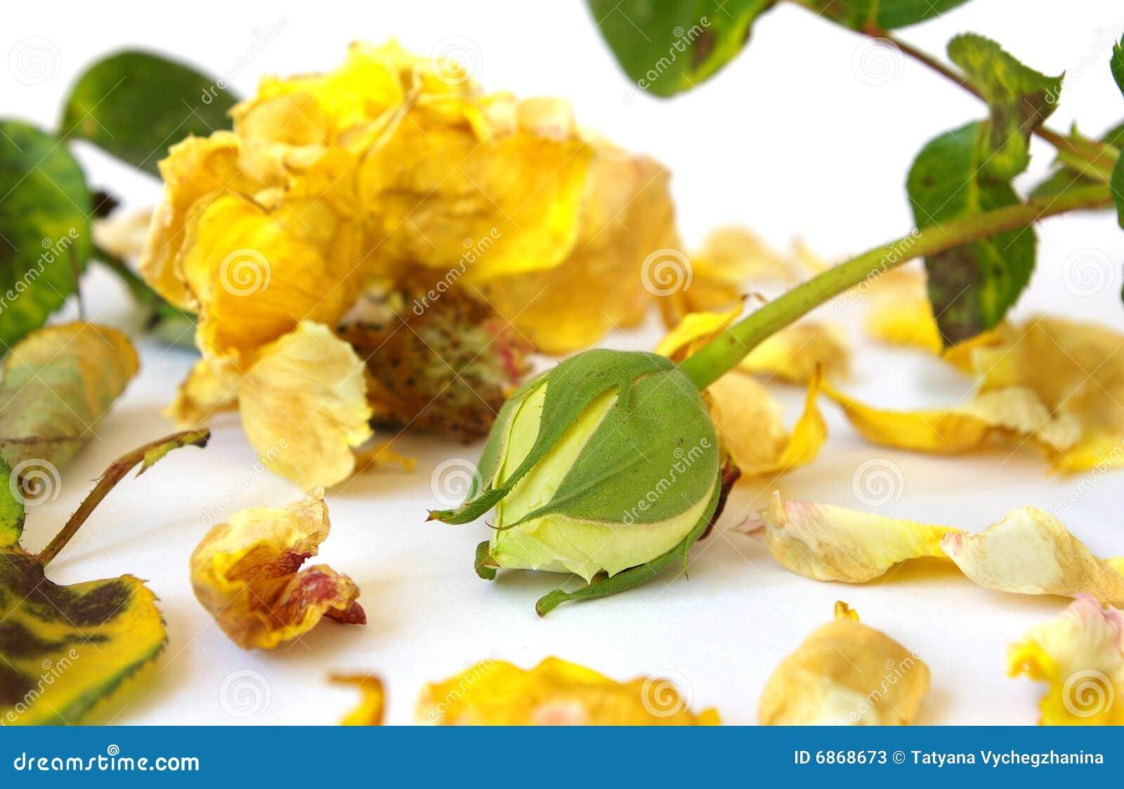 Rosa guasto e germoglio giallo