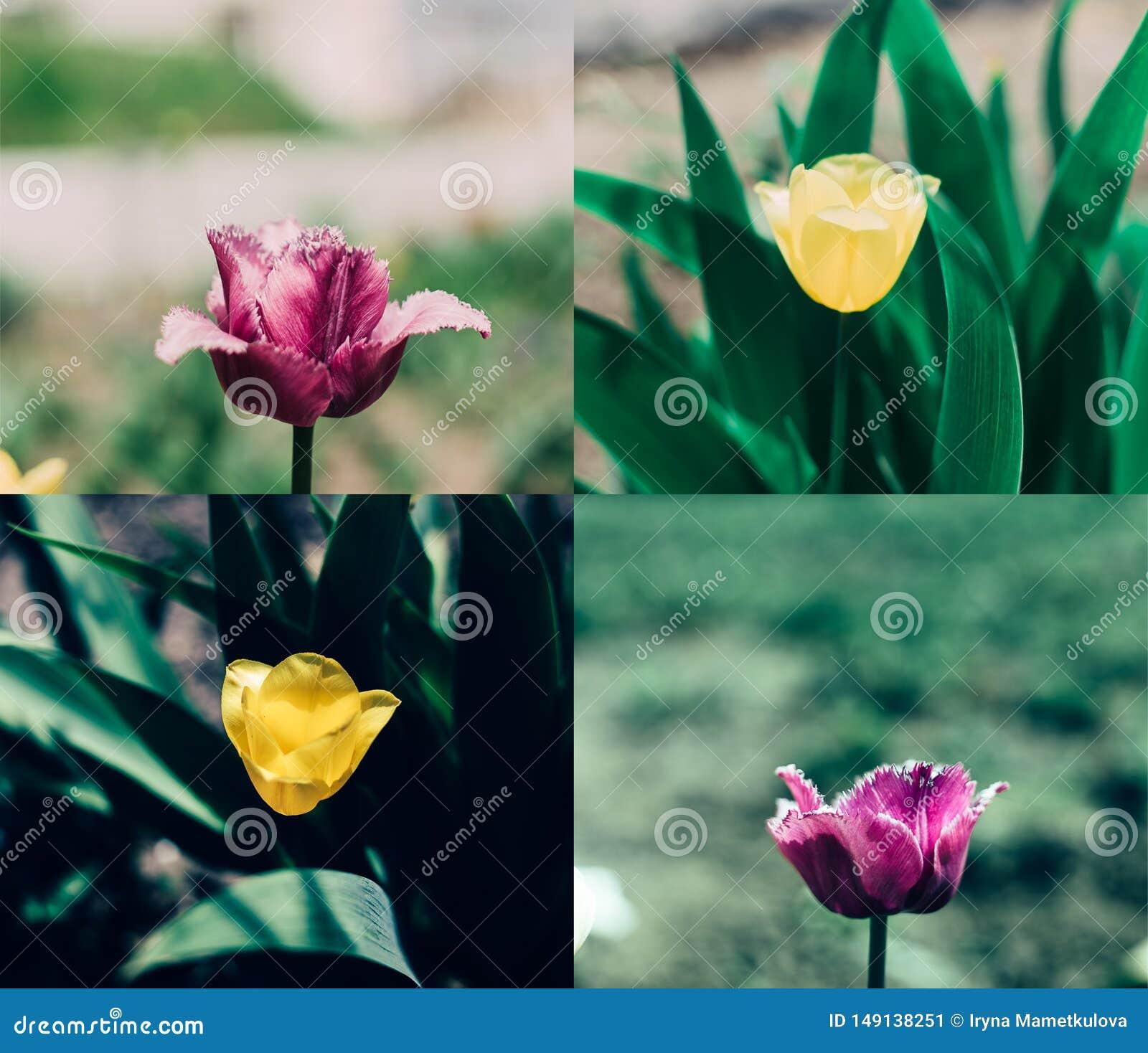 Rosa gul tulpancollage
