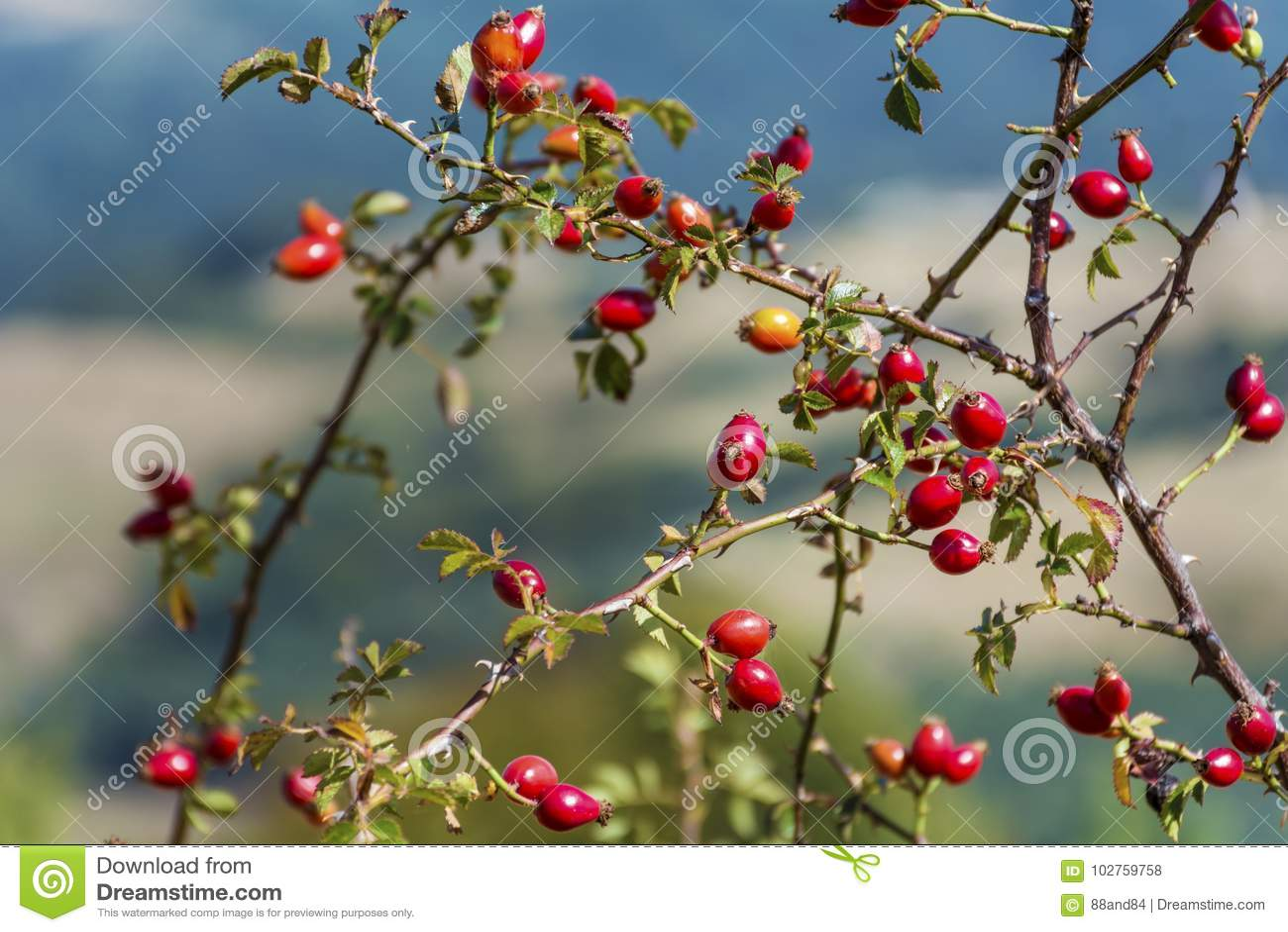 Rosa höftbuske