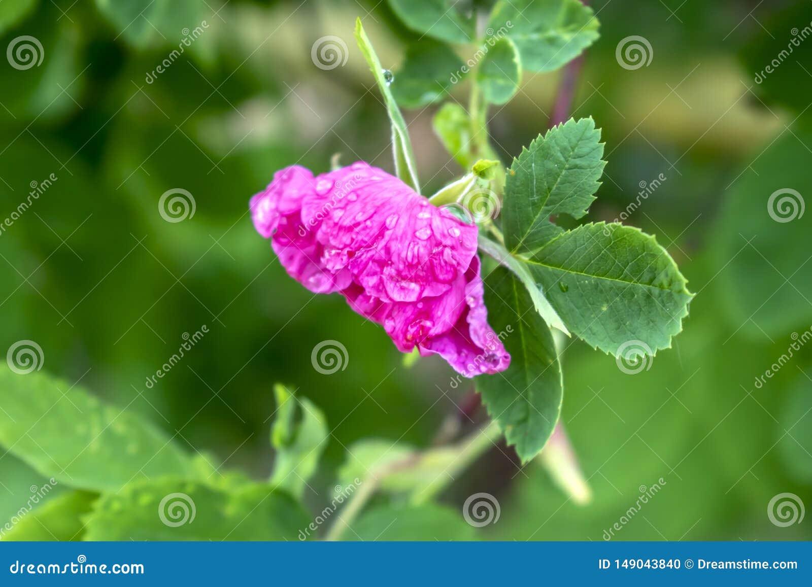 Rosa Hagebuttenblume mit Tautropfen nah oben mit unscharfem Hintergrund