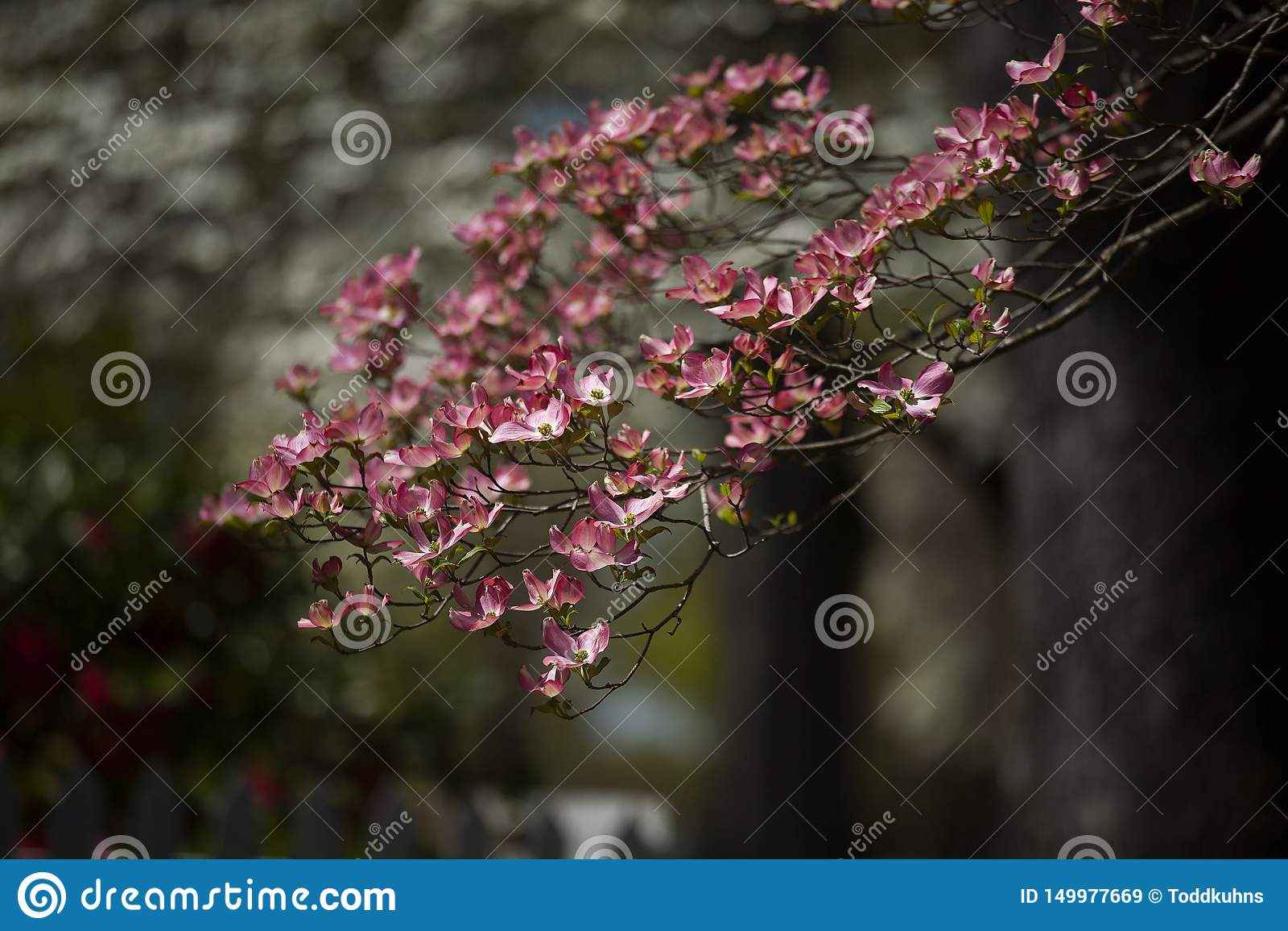 Rosa Hartriegel-Blüte während des Frühlinges im direkten Sonnenlicht