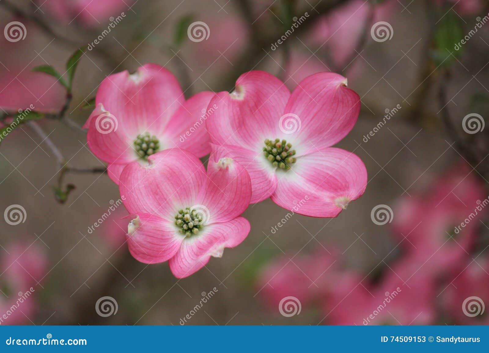 Rosa Hartriegel-Niederlassungs-Gruppe von drei Blüte