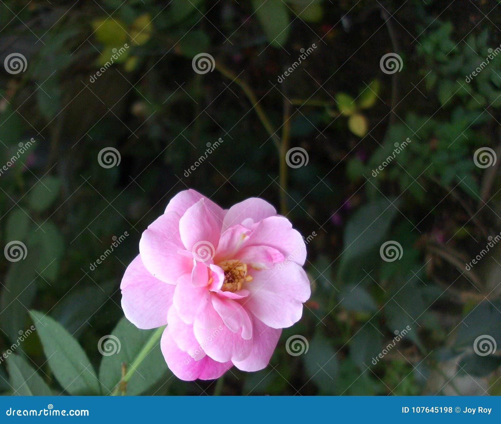 Rosa hermosa del rosa con los pétalos maduros