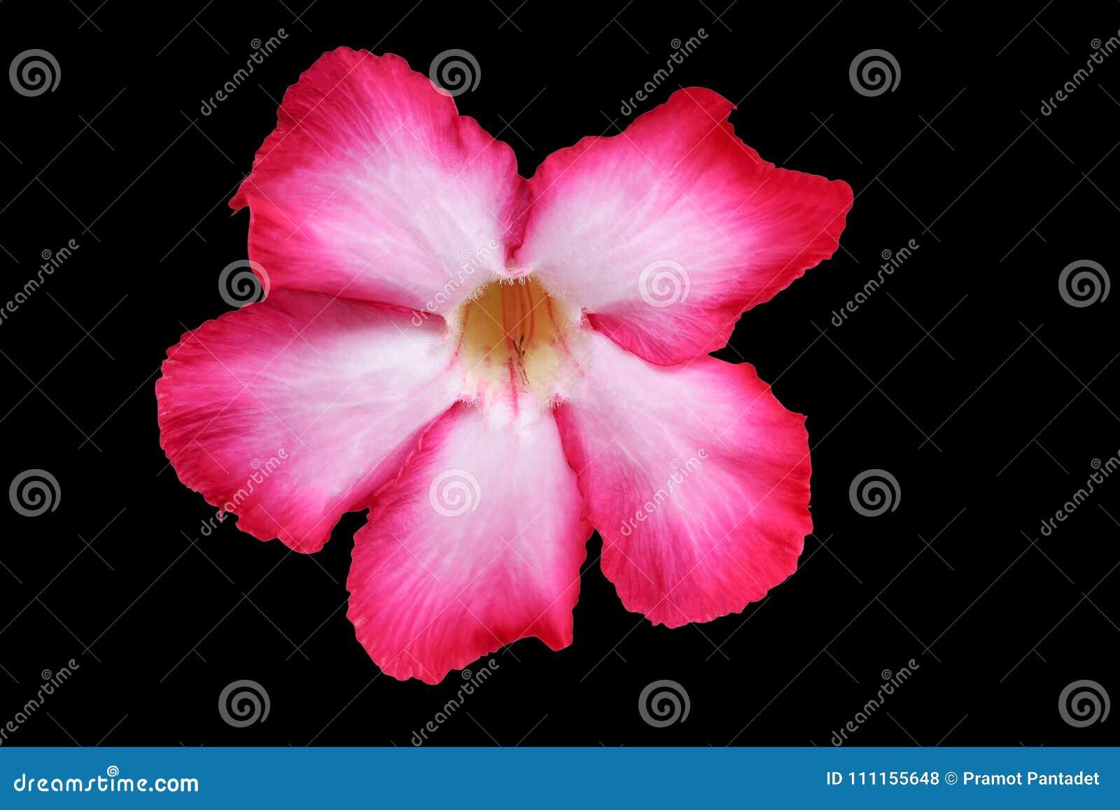 Rosa hermoso de la flor o del lirio de Rose de desierto en la trayectoria negra del fondo y de recortes